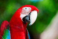 Red Macaw perched on a tree