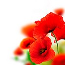 poppies flowers background _ frame