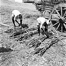 Year 1955 , people working in sugar factory , bundling sugarcanes , Mandya , Mandya district , Karnataka , India