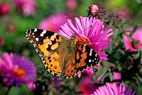 butterfly on chrysanthemum