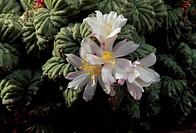 Climbing onion (Bowiea volubilis) flower, Liliaceae. Detail.