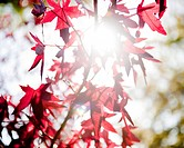 Sunlight shining through red Japanese maple tree leaves