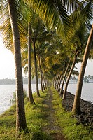 Coconut trees  ; backwaters of Kodungallur ; Kerala ; India