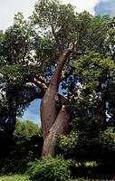 Madagascar Baobab (Adansonia madagascariensis), Malvaceae-Bombacaceae.