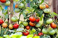 Vegetable , red and green tomatoes , West Bengal , India