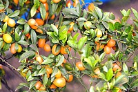 Fruits ; limes and oranges hanging on branch ; West Bengal ; India