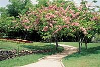 Caesalpiniacea. Havana Botanical Garden, Cuba.