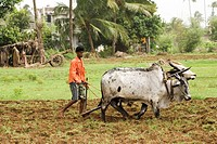 Village boy ploughing toiling soil with bullocks , Kalamb , Taluka Vasai , District Thane , Maharashtra , India