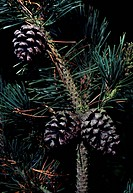 Mountain Pine branch with cones (Pinus mugo Uncinata), Pinaceae.