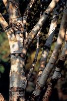 Paper Birch (Betula papyrifera), Betulaceae. Detail.