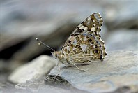 Close up of a Painted Lady Butterfly, Vanessa cardui, perched on a rock