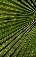 Palm leaf (Washingtonia sp), Arecaceae. Detail.