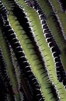 Euphorbia avasmontana spines, Euphorbiaceae. Detail.