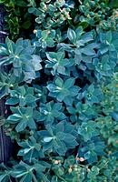 Myrtle spurge (Euphorbia myrsinites), Euphorbiaceae.