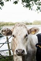 head shot of cow in field