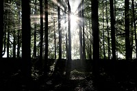Sunbeams break through trees in a forest