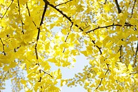 Autumn colored ginkgo leaves