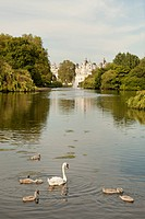 Swan with cygnets in St. James Park