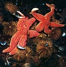 Starfishes and Urchins.