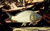 Common carp (Cyprinus carpio), Cyprinidae.
