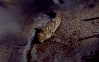 Mudskipper (Periophthalmus sp), Gobiidae. Andaman islands, India.