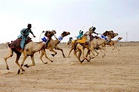Camels race at Dendasar stadium in desert festival , Jaisalmer , Rajasthan , India 2009