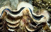 Giant Clam (Tridacna gigas), Cardiidae.
