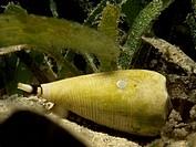 Conus sp, Conidae. New Caledonia.