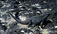 Marine Iguana (Amblyrhynchus cristatus), Iguanidae.