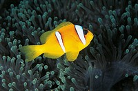 Red Sea Anemonefish (Amphiprion bicintus), Pomacentridae. Red Sea, Sudan.