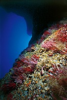 Seabed with Red Coral (Corallium rubrum), Corallidae. Mediterranean Sea.