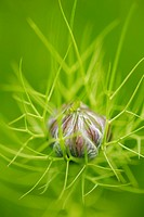 Love_in_a_mist Nigella damascena bud
