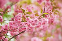 Cherry tree prunus in blossom