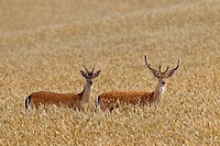 Two young fallow deer Dama dama bucks with antlers covered in velvet in wheat field in summer