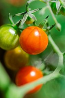 Fresh cherry tomatoes on vine