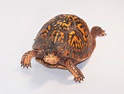 Studio shot of turtle
