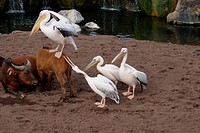 Flock of Great White Pelicans and Herd of African Forest Buffalo