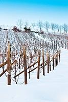 Tuscany: wineyard in winter