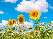 Sunflowers over blue sky with clouds