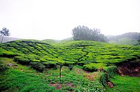 Tea gardens in Munnar hill station , Kerala , India