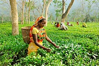 Woman plucking leaves from tea garden ; Assam ; India NOMR