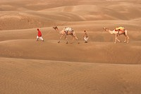 Camels with men in sand dunes of Khuri ; Jaisalmer ; Rajasthan ; India