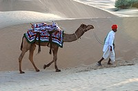 Camel with man crossing desert , Jaisalmer , Rajasthan , India