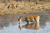 Barasingha or Swamp deer cervus duvauceli female feeding water at Bangalore ; Karnataka ; India