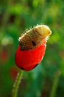 Poppy bud under process of opening , Jodhpur , Rajasthan , India