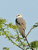 Birds , black winged kite elanus caeruleus at Hesaraghatta , Karnataka , India