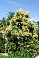 Flowering teak tree tectona grandis linn.f , Kerala , India