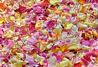 DIG, DEU, Germany, rose sheets, flower carpet, roses, rose smell, decoratively, decoration, flower decoration, Blumendeko, Deko, flowers, flower sheet...