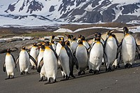 United Kingdom, South Georgia Islands, Saint Andrews plains, King Penguin, Aptenodytes patagonicus, adults