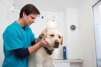 Veterinarian examines a Labrador Retiever in thier surgery